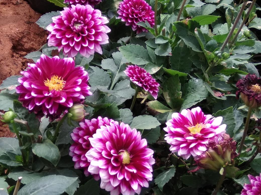 Fleurs Lalbagh Botanic Garden (10)